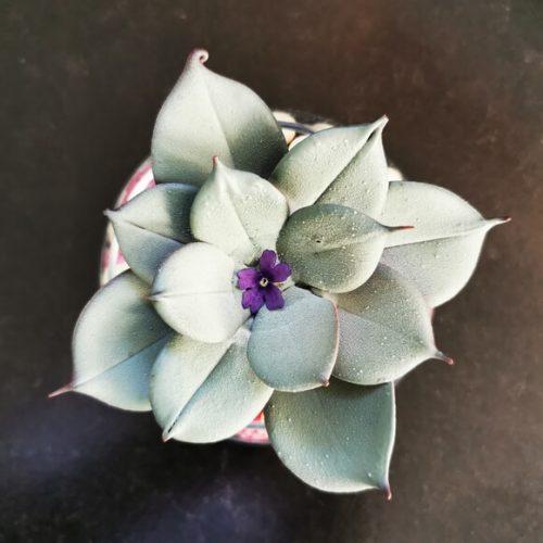 Fleur Cactus Tout Chocolat